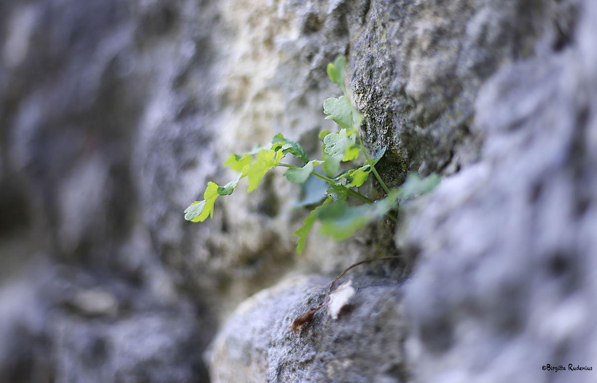 Wall plant