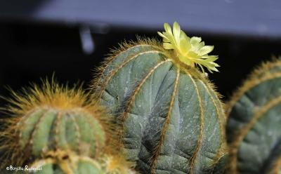 Kaktus Blomma
