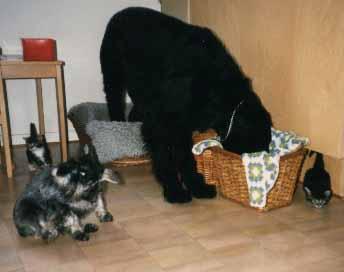 Dixie och Goliath med alla kattungarna.