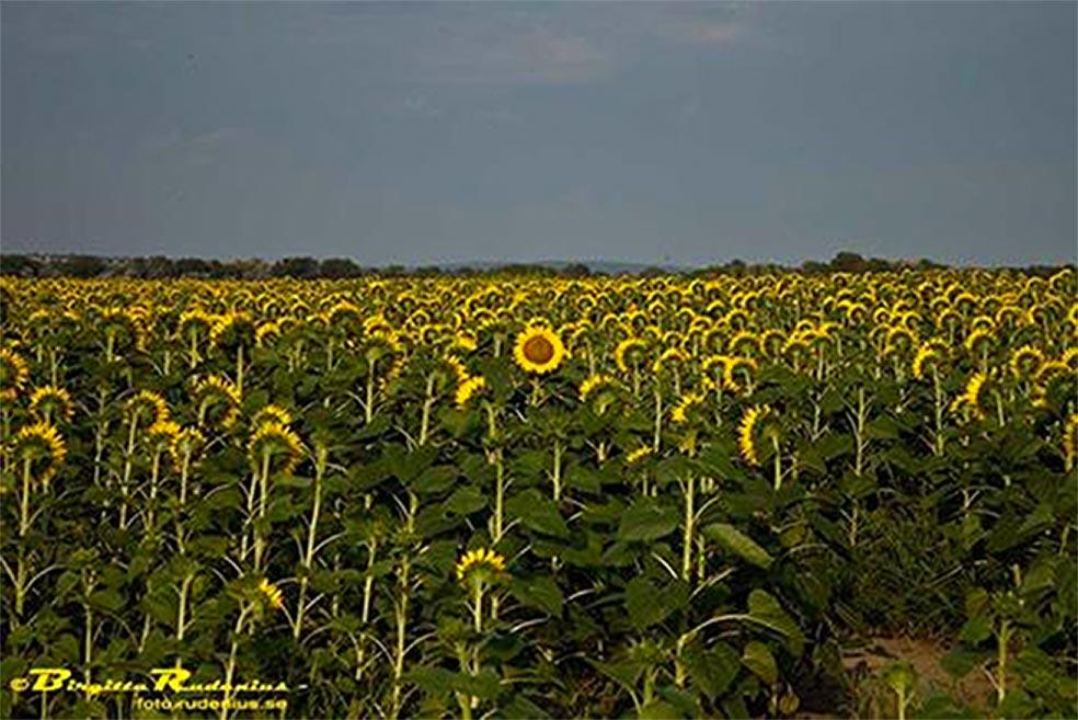 Solrosen - Sunflower