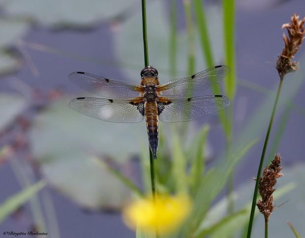 #Dragonfly @ Birgitta Rudenius