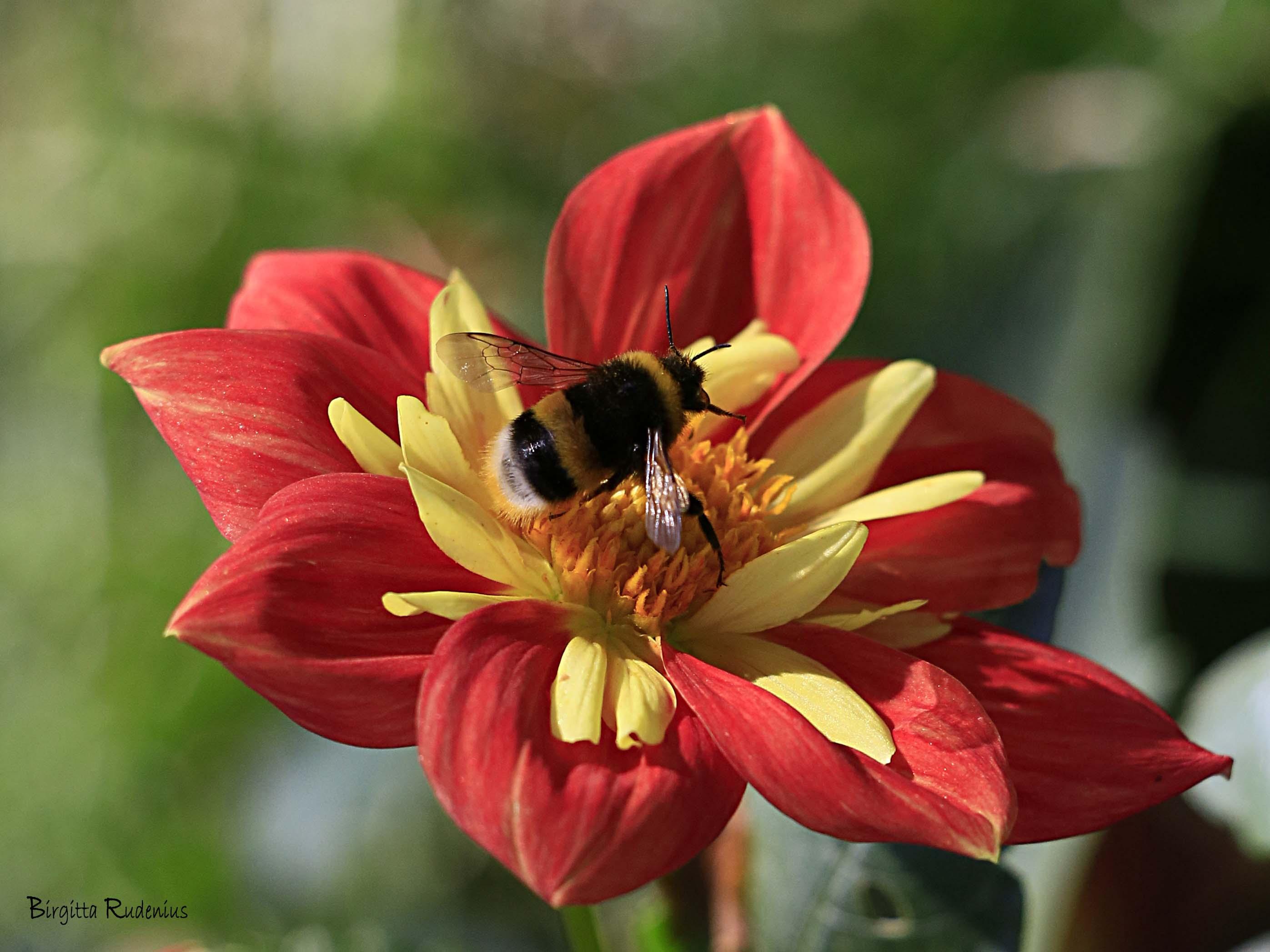 Bumblebee - Humla © Birgitta Rudenius