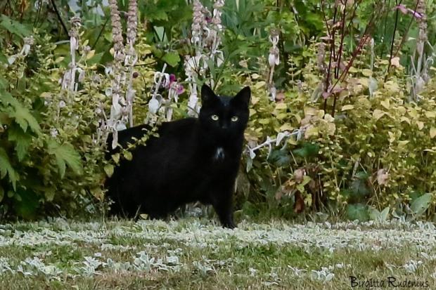 Katt i rabatten © Birgitta Rudenius