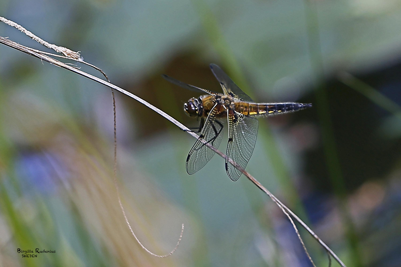 Macro photography Dragonfly © Birgitta Rudenius