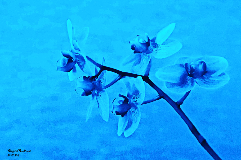 Fainting Flower © Birgitta Rudenius